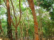 Rubberaanplanting in Kerala, India royalty-vrije stock afbeeldingen