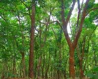 Rubberaanplanting - Natuurrubbercultuur - in Kerala, India stock afbeelding