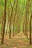 Rubberbomen Stock Foto