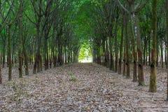 Rubberbomen in rij Stock Foto's