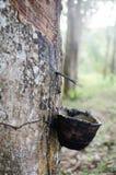 Rubberboom Royalty-vrije Stock Afbeelding