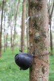 Rubberboom Stock Foto's