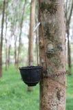 Rubberboom Stock Afbeeldingen