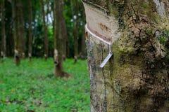 Rubberboom, stock fotografie