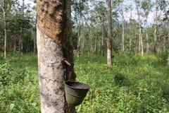Rubberboom in een rubberlandgoed in Maleisië stock foto