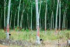 Rubberboom en kom of pot met latex in aanplanting wordt gevuld die royalty-vrije stock foto