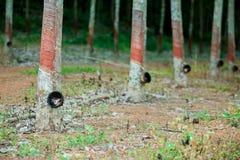 Rubberboom en kom of pot met latex in aanplanting wordt gevuld die royalty-vrije stock afbeelding