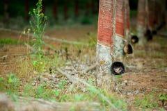 Rubberboom en kom of pot met latex in aanplanting wordt gevuld die stock afbeeldingen