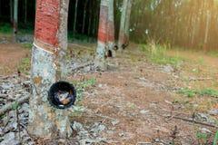 Rubberboom en kom of pot met latex in aanplanting wordt gevuld die royalty-vrije stock foto's