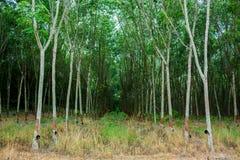 Rubberboom en kom of pot met latex in aanplanting wordt gevuld die stock foto