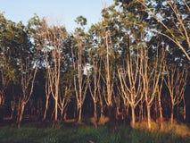 Rubberboom Forest Wallpaper Stock Foto