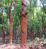 Rubberboom - Hevea Brasiliensis - met Rubber die in een Rubberaanplanting in Kerala, India onttrekken stock foto
