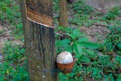Rubberboom met een pot op de boomstam royalty-vrije stock foto's