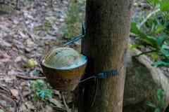 Rubberboom met een pot op de boomstam stock foto's