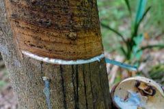 Rubberboom met een pot op de boomstam stock foto