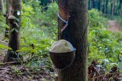 Rubberboom met een pot op de boomstam stock afbeelding