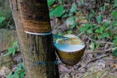 Rubberboom met een pot op de boomstam stock afbeeldingen