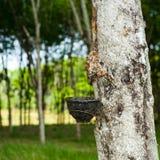 Rubberboom met kom voor latexmelk bij tropische aanplanting Tha Stock Afbeelding