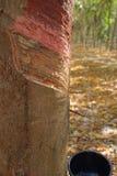 Rubberboom met slag. Royalty-vrije Stock Foto