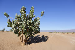 Rubberbush (Calotropis procera) in the desert. A rubberbush (Calotropis procera) against clear blue sky in the  Sahara desert, Chagaga, Morocco Royalty Free Stock Photos