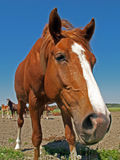 A rubbernecker horse. Looks into camera Royalty Free Stock Images