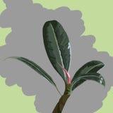 Rubberplant Royalty-vrije Stock Foto's