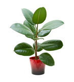 Rubberplant (ficussen) royalty-vrije stock foto's