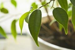 Rubberplant op de vensterbank Stock Afbeeldingen