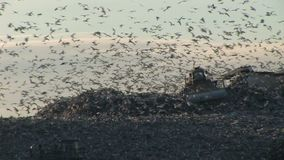 Rubbish tip with thousands of gulls over trash truck. Thousands of gulls over a waste disposal area stock footage