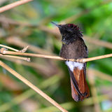 Rubby topaz hummingbird Royalty Free Stock Image