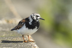 Rubby turnstone Royalty Free Stock Photo