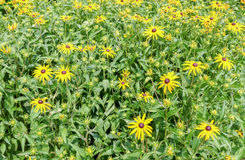 Rubeckia, or Goldsturm flowers. Stock Images