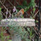 Rubecula της Robin redbreast Erithacus Στοκ Εικόνα
