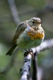 rubecula του Robin erithacus στοκ εικόνα με δικαίωμα ελεύθερης χρήσης