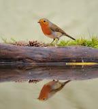 rubecula του Robin erithacus Στοκ φωτογραφία με δικαίωμα ελεύθερης χρήσης