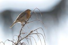Rubecula d'erithacus d'oiseau de Robin photo libre de droits