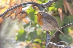 Rubecula d'erithacus d'oiseau de Robin photographie stock