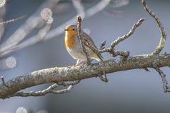 Rubecula d'erithacus d'oiseau de Robin photos libres de droits