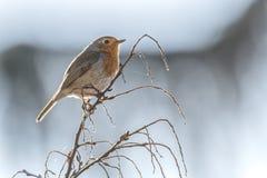 Rubecula d'erithacus d'oiseau de Robin photo stock
