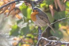 Rubecula d'erithacus d'oiseau de Robin image libre de droits