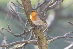 Rubecula d'erithacus d'oiseau de Robin photographie stock libre de droits