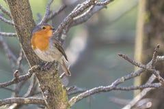 Rubecula d'erithacus d'oiseau de Robin photos stock