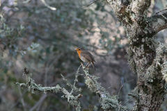 Rubecula do Erithacus que canta em uma árvore Imagens de Stock Royalty Free