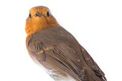Rubecula europeu do Erithacus do pisco de peito vermelho do retrato Imagem de Stock Royalty Free