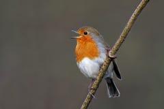 Rubecula Robin - Erithacus Στοκ φωτογραφία με δικαίωμα ελεύθερης χρήσης