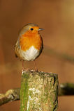 Rubecula Robin - Erithacus Στοκ Εικόνα