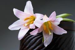 Rubellum del Lilium Immagine Stock