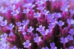 Ruber Betsy bonito do Centranthus com os conjuntos macios de flores ou de valeriana vermelha cor-de-rosa pequena, trombeta-dada f fotografia de stock