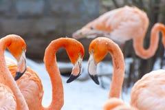 ruber Coração-dado forma do pterus de Phoenico (maior flamingo) Fotografia de Stock