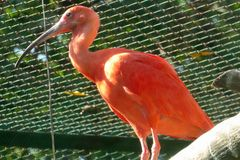 Ruber d'Eudocimus au zoo de Ho Chi Minh City Photographie stock libre de droits